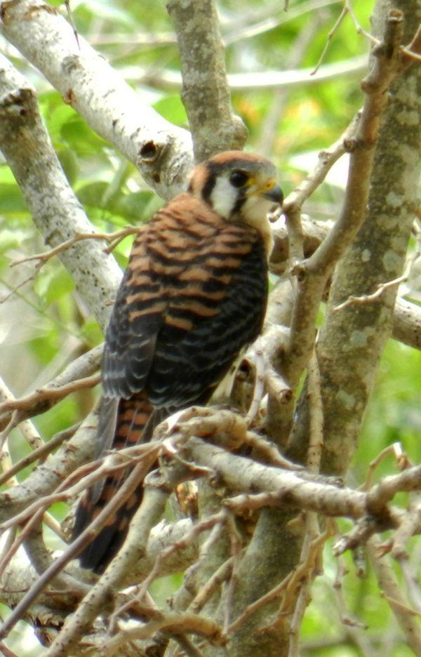 Crecerelle d Amerique Falco Sparverius Guadeloupe 1 copie