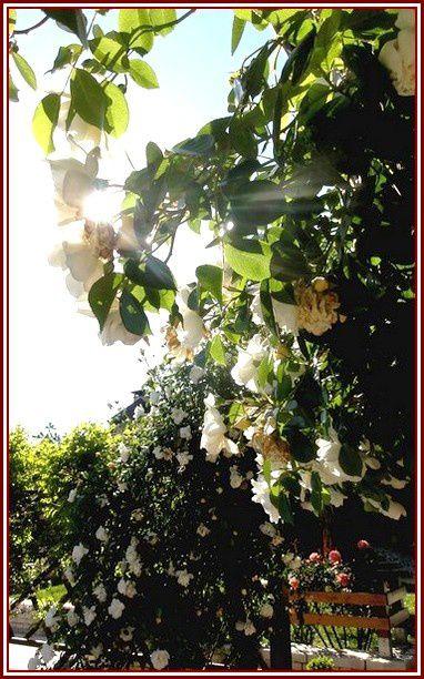 rose-1-DSC06381.jpg