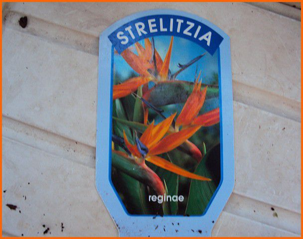 strelitzia 001 (2)