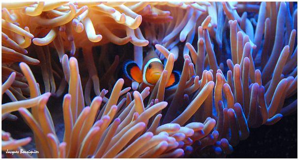 Corail poisson clown Nausicaa 2