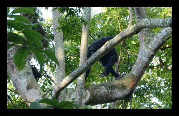 Rwanda-Chimps 12
