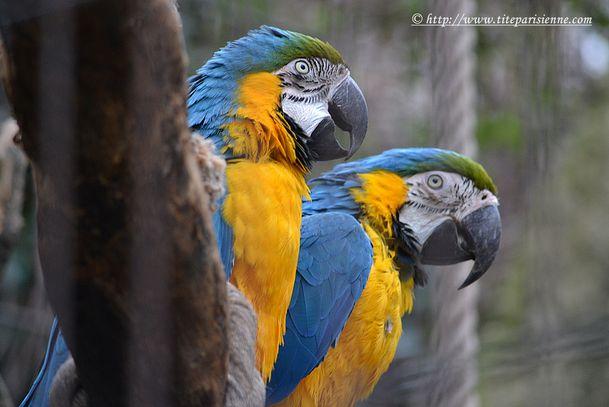 13 mars 2012 Perroquets 3