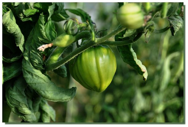 Tomate-25072012-0040