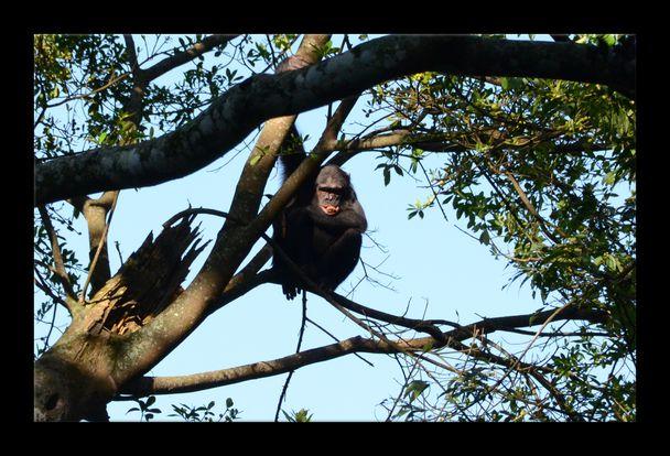 Rwanda-Chimps 14