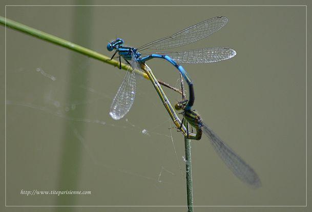 5 août 2012 Libellule bleue 4