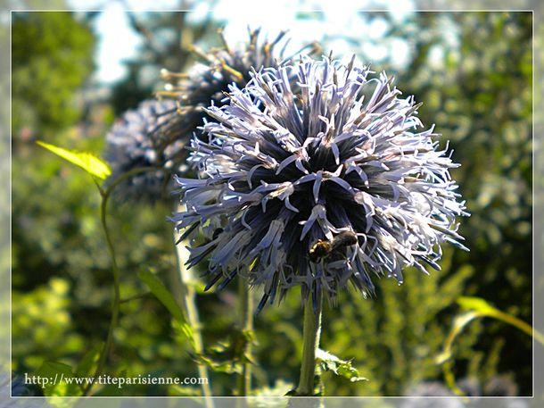5 août 2011 Photo Parc Floral chardon 3