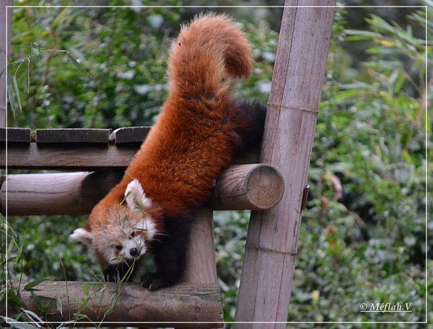 3 décembre 2011 Ménagerie Panda roux 3