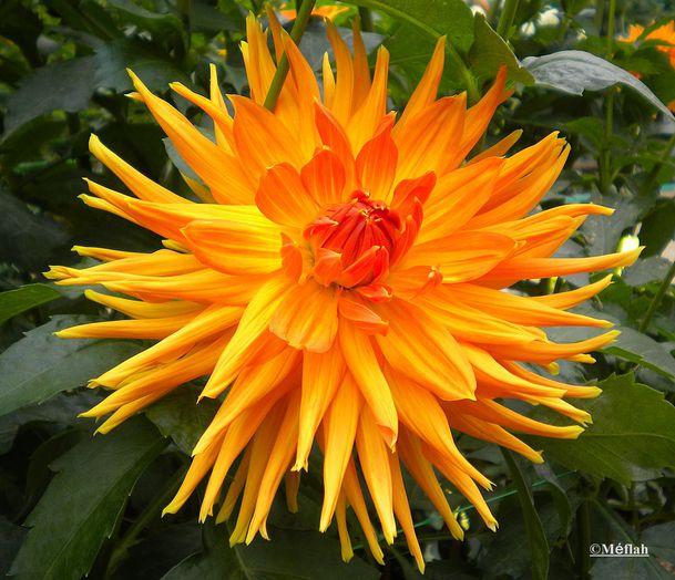 22 octobre 2011 Dahlia parc Floral 5