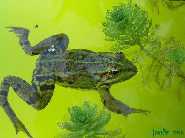 grenouille verte eau verte