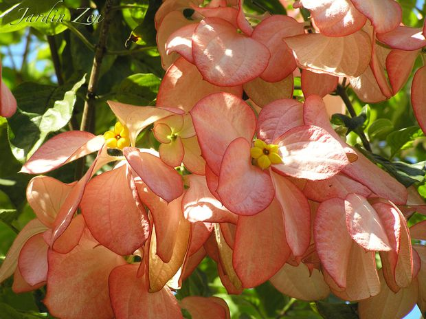 ALOUCH bougainvilliers