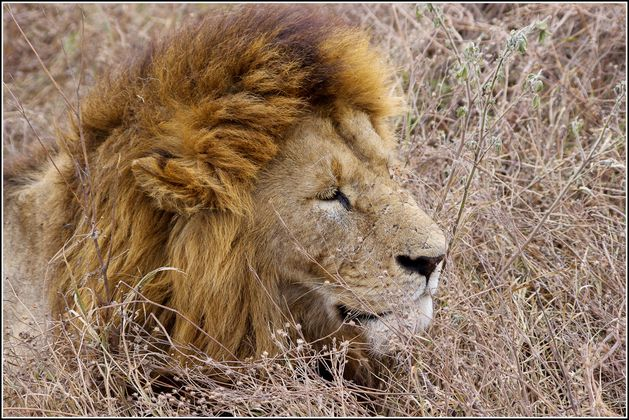 lion dans le cratere du Ngorongoro