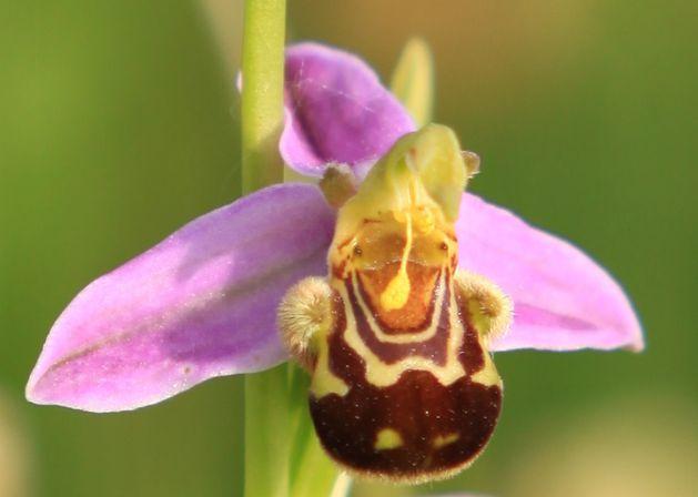 Ophrys-apifera-zoom.jpg