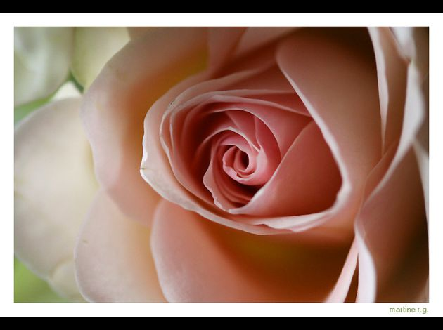 rose-tendre