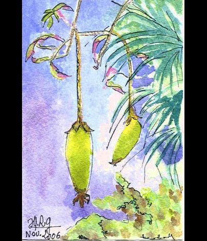 aquarelle-fruit-baobab.jpg