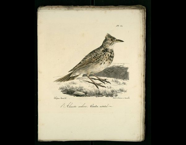 Gravures oiseaux de Provence : alouette-cochevis