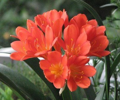 Clivia-sur-notre-balcon-003.jpg