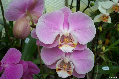 phal_ph058.jpg