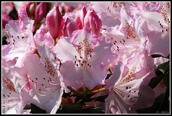 rhodo-nouv-600x400.jpg