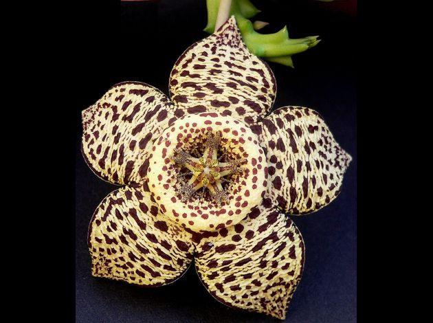 Orbea ou Stapelia variegata aout 07.jpg