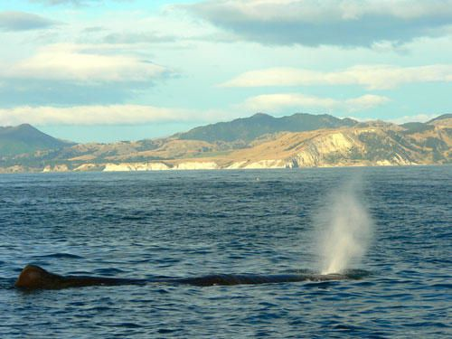 177-kaikoura-whale-watching-cachalot-respiration.jpg
