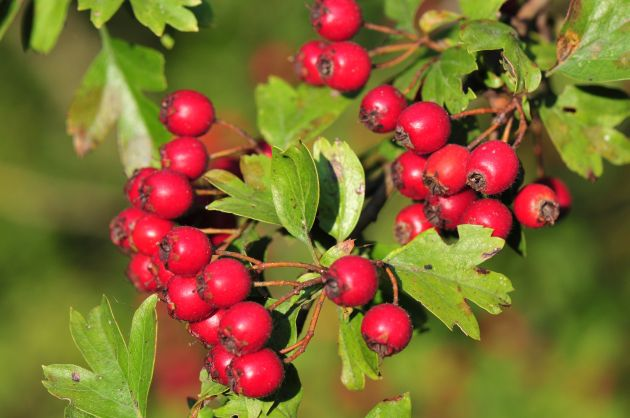 Aubepine-Crataegus-oxyacantha.jpg