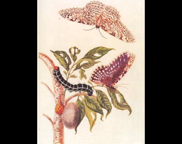 Maria Sibylla Merian04 (1647-1717Metamorphosis of a Butterf