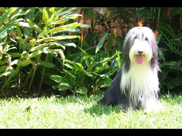 2-Bearded-Collies-au-Costa-Rica
