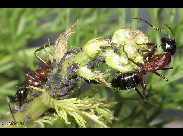 Camponotus ligniperdus pucerons