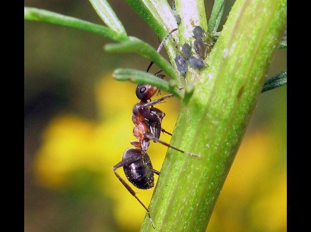 Formica pratensis élevage pucerons