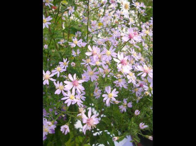 Aster cordifolius ideal 2