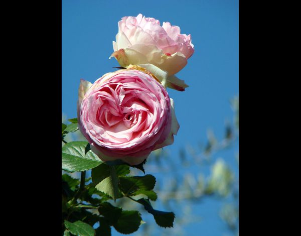 Roses de Nice (60)