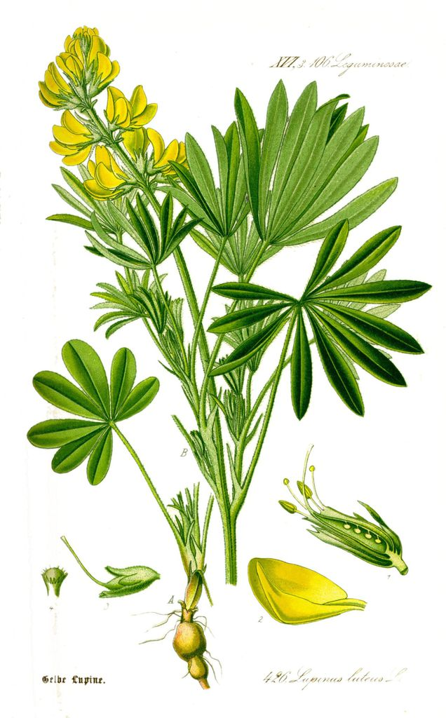 Illustration_Lupinus_luteus1.jpg