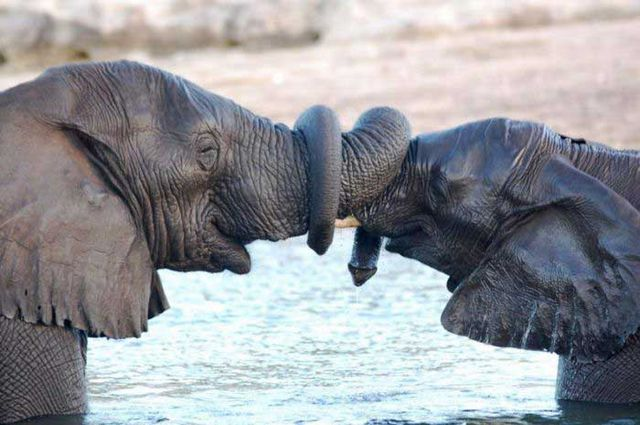 Elephants-shake-trunks.jpg