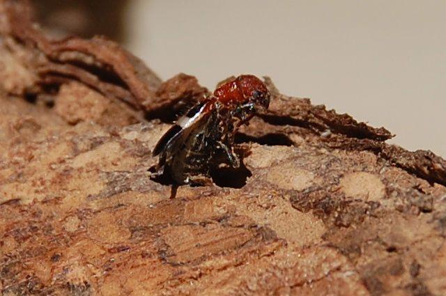 insecte xylophage dans du bois de vigne le blog de s gui christian. Black Bedroom Furniture Sets. Home Design Ideas