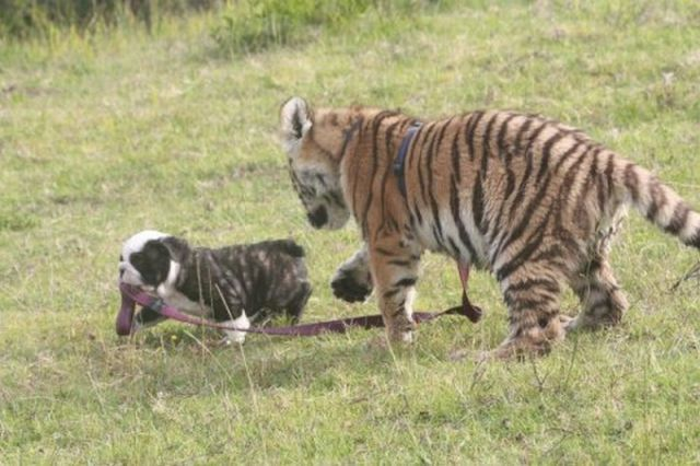 chien-vs-tigre.jpg