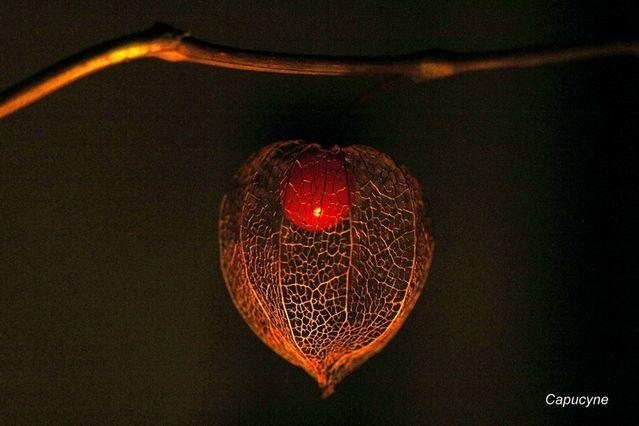 Le jeu de l 39 amour en cage et de la lumi re la nature et la plume - Amour en cage plante ...