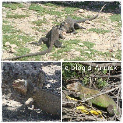 iguanes-montage