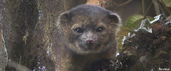 r-OLINGUITO-large570.jpg