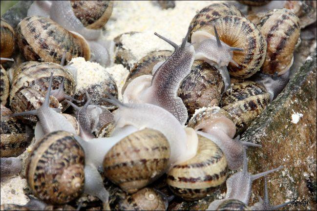 bretagne-Goulien--1--gros-escargots.jpg