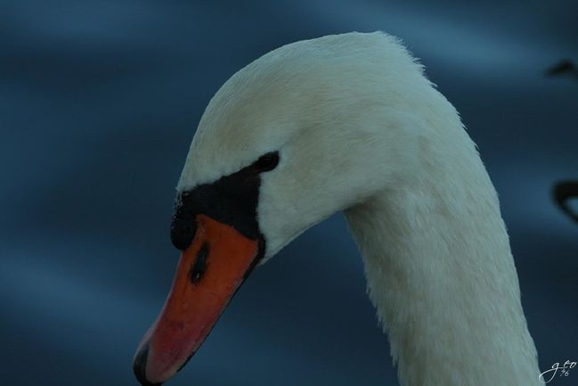 17-10-2010---CYGNE-MALE.JPG