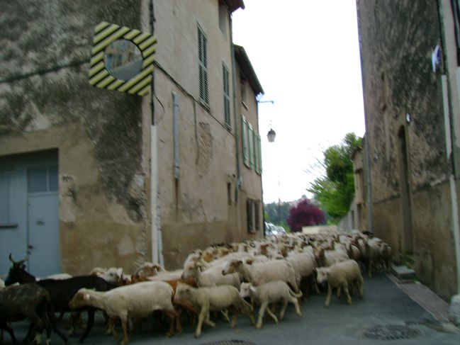 Moutons 10.5.2010 (1)