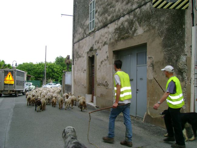 Moutons 10.5.2010 (10)
