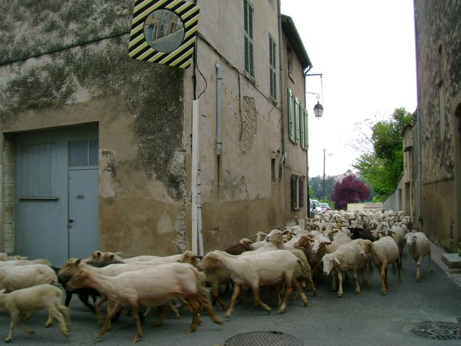 Moutons 10.5.2010 (5)