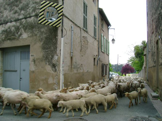 Moutons 10.5.2010 (8)