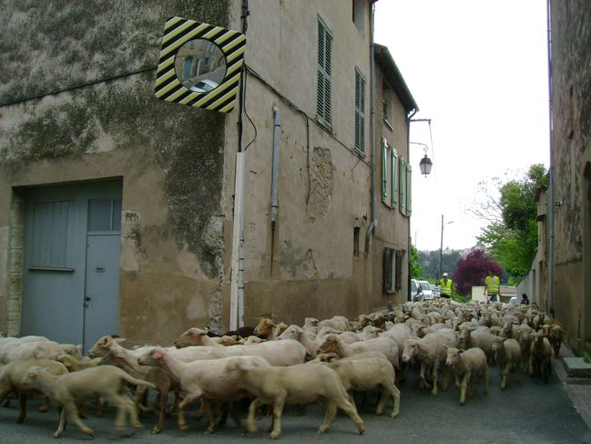 Moutons 10.5.2010 (9)