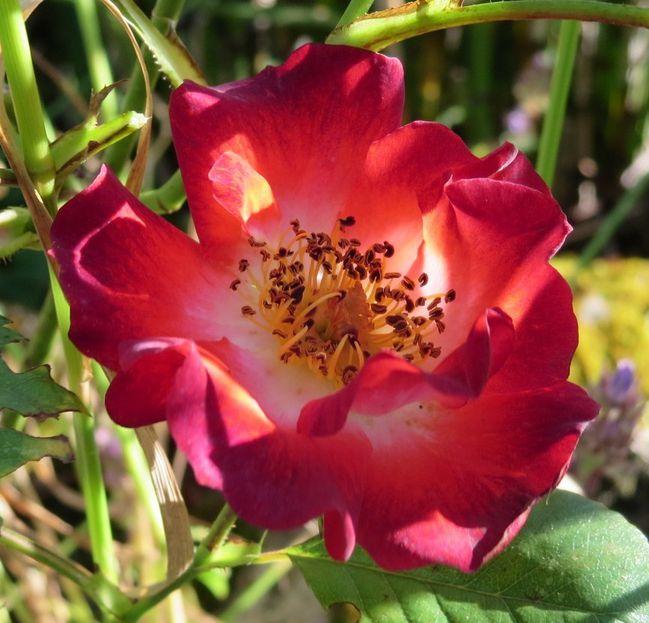 jardin-roses-du-22-mai-2014-083.JPG