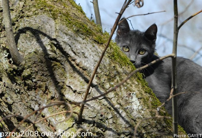 Isis-chat-arbre