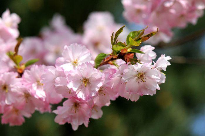 cerisier 126