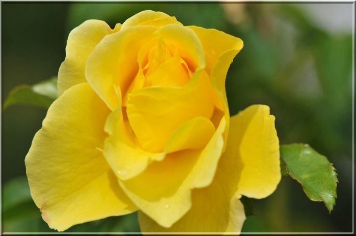 rose-jaune 101