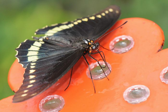 papillon 446
